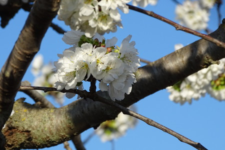Amandier fleurs blanches Banque d'images - 77089027