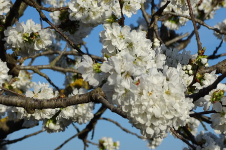 almond tree white flowers