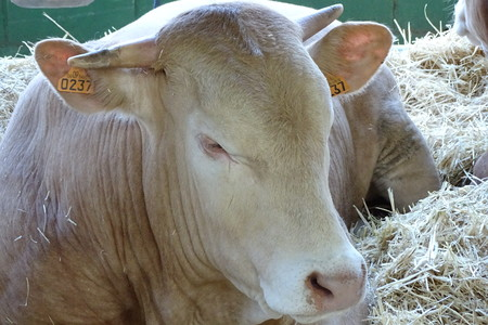 close up food: Bull from a farm lie down on the straw