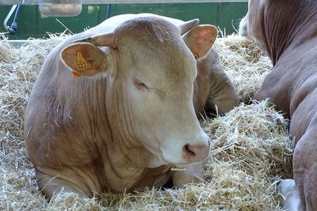 Bull from a farm lie down on the straw