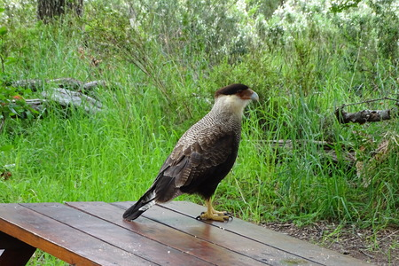 eagle in a wood table from Calafate, beautiful bird, Argentina