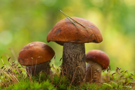 Mushrooms orange cap boletus on the moss  photo