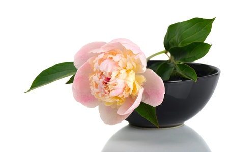 Peony in black bowl on white background photo