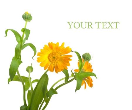 medicinal plants: Cal�ndula flores en un fondo blanco