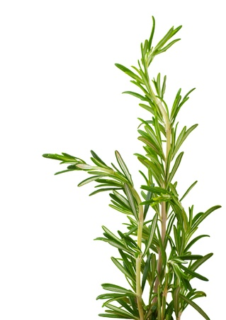 rumple: Branches of rosemary on a white background