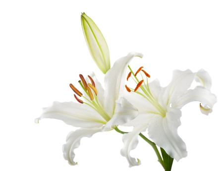 Flowers white lilies on a white background