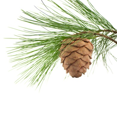 pine nuts: Cedar branch with cone on a white background