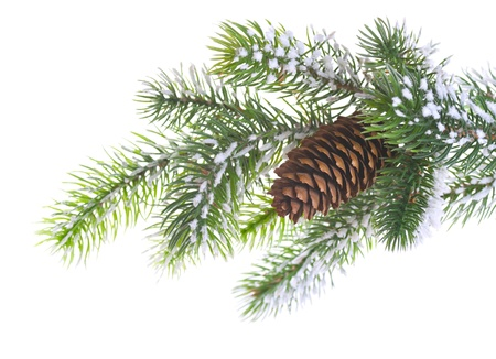 Spruce branch with cone on a white background photo