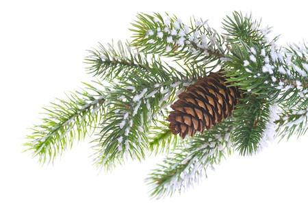 sapin: Spruce branche avec cône sur un fond blanc