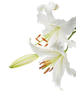 lirio blanco: Flores lirios blancos en un fondo blanco