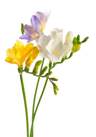 White and yellow and purple freesia flowers photo