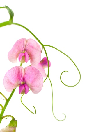 sweet pea: Pink flowers of the field peas. Background