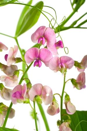 sweet pea flower: Pink flowers of the field peas. Background