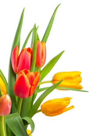 tulips isolated on white background: Red and yellow tulips