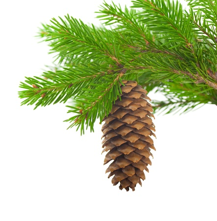 adorn: Spruce branch with cone on a white background