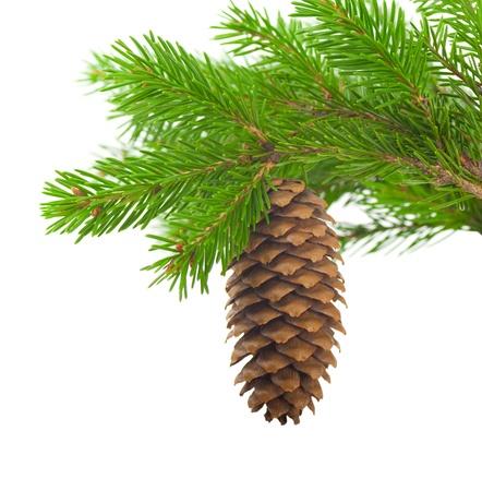 pomme de pin: Spruce branche avec c?ne sur un fond blanc