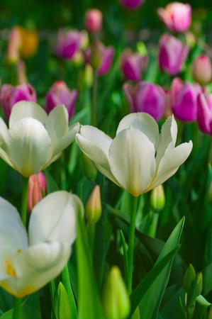floriculture: White tulips and violet tulips