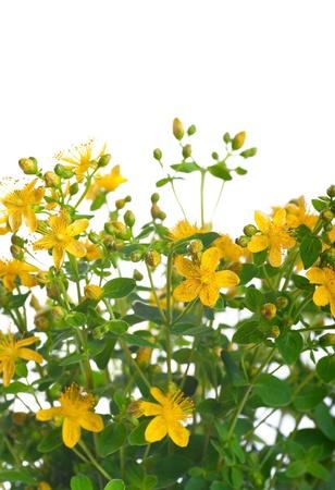 yellow wildflowers: St  John