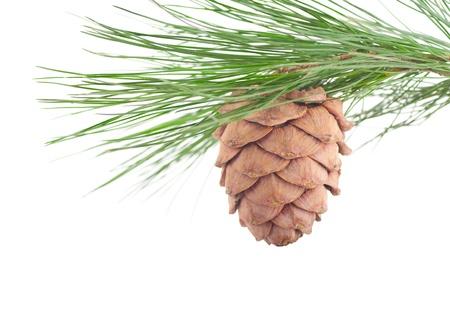cedro: Cedar rama con conos sobre un fondo blanco Foto de archivo