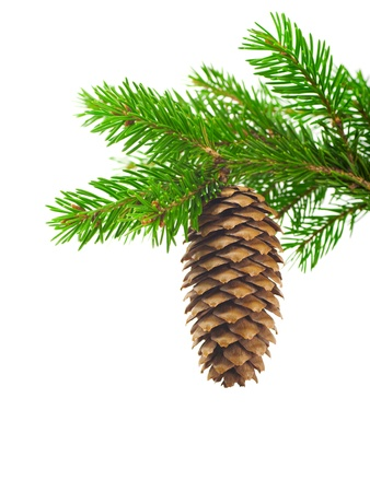 Spruce branch with cone on a white background