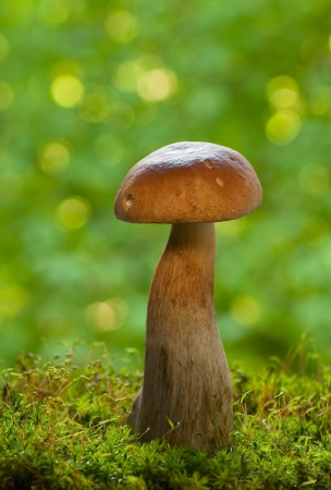 cep mushroom: Cep mushroom in the forest Stock Photo