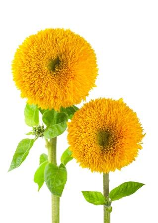 helianthus annuus: Sunflowers, helianthus annuus, on a white background Stock Photo