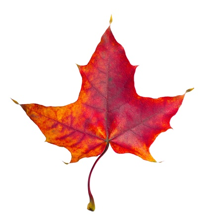 veining: Autumn maple leaf on white background Stock Photo