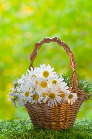 Basket with daisies on grass photo