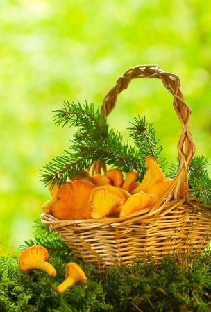 chanterelle: Chanterelle mushrooms in a basket Stock Photo