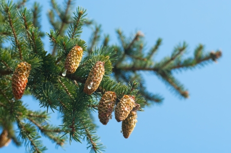Spruce branches with cones photo