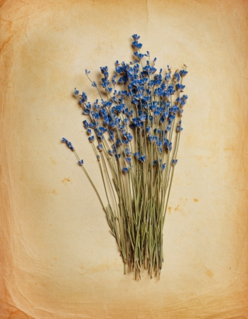 herbs of provence: Bouquet of dried  lavender on old paper