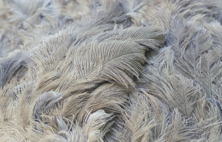 grizzle: Ostrich feathers closeup. Natural background.