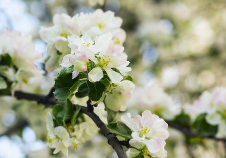 pink skies: Blooming apple tree in the spring garden
