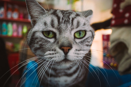 close-up of a beautiful and angry black and white colors cat in a pet shop looking at camera