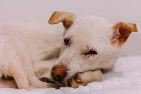 A white street dog's just saved from the street and feel weak and sleepy