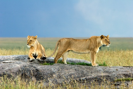 female lion: Lions on a Stone Stock Photo