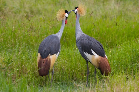 Kissing Crowned Cranes photo