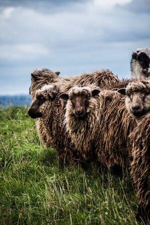 sheep in windy weather on the dike
