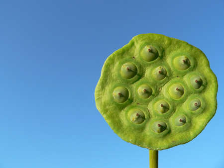 Lotus Seed Pod Stock Photo - 255000