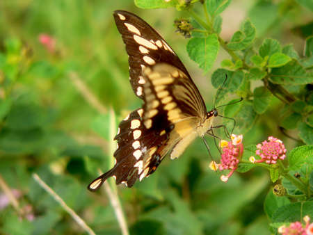 Butterfly on Flower, slight blur on front wing because of wing movement photo