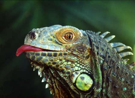 lagartija: Iguana