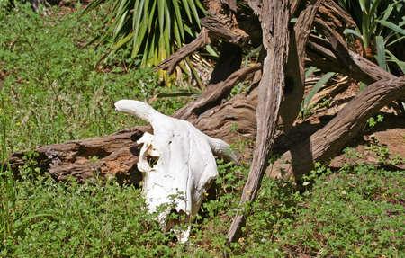 craneo de vaca: Vaca Calavera