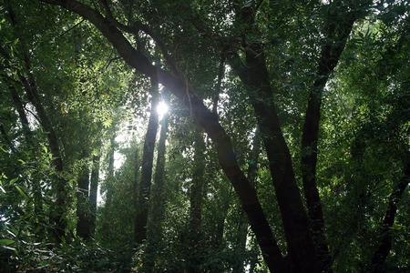 Sunlight  sun light shining through the trees in a dense forest