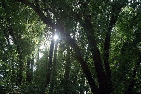 dense forest: Sunlight  sun light shining through the trees in a dense forest