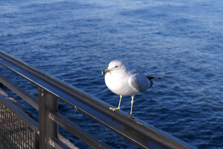 A seagull sitting on a metal rail with an water background or backdrop