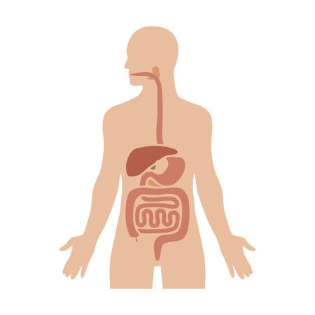Menselijke biologische spijsverteringssysteem  spijsvertering effen kleur diagram voor medische apps en websites