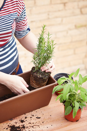 transplanting: Young womans hands transplanting rosemary to pot Stock Photo