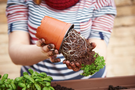 transplanting: Young womans hands transplanting parsley to pot