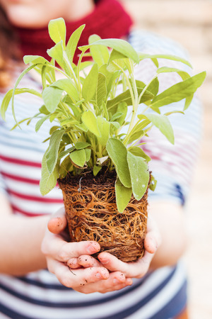 transplanting: Hands holding sage with roots before transplanting