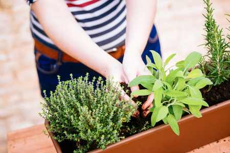 Hands transplanting sage on a pot with other aromatic herbs